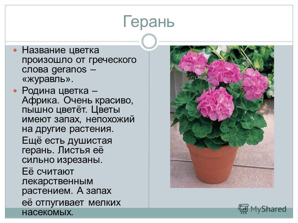 Герань Название цветка произошло от греческого слова geranos – «журавль». Родина цветка – Африка. Очень красиво, пышно цветёт. Цветы имеют запах, непохожий на другие растения. Ещё есть душистая герань. Листья её сильно изрезаны. Её считают лекарствен