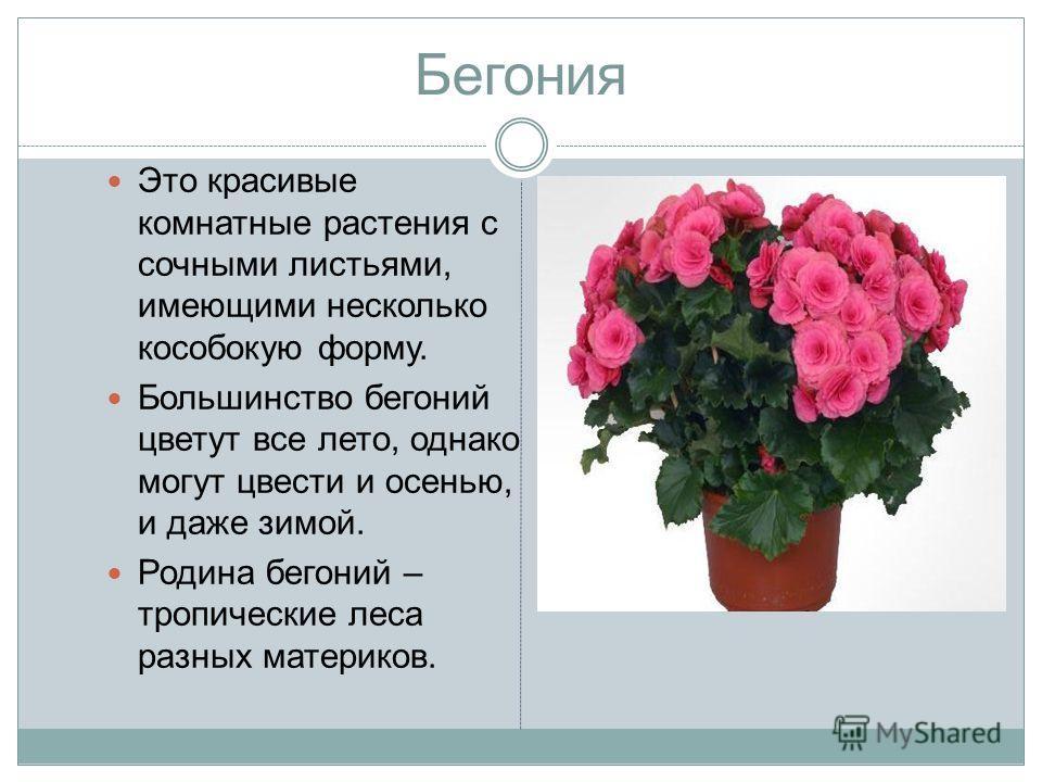 Бегония Это красивые комнатные растения с сочными листьями, имеющими несколько кособокую форму. Большинство бегоний цветут все лето, однако могут цвести и осенью, и даже зимой. Родина бегоний – тропические леса разных материков.
