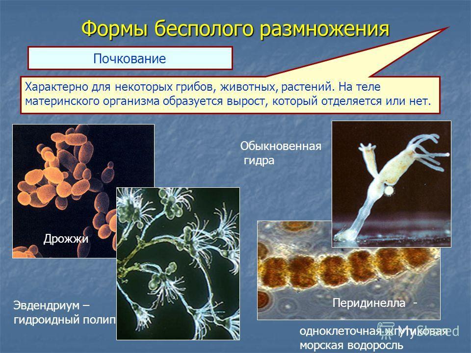 Формы бесполого размножения Почкование Характерно для некоторых грибов, животных, растений. На теле материнского организма образуется вырост, который отделяется или нет. Дрожжи Обыкновенная гидра Эвдендриум – гидроидный полип Перидинелла - одноклеточ