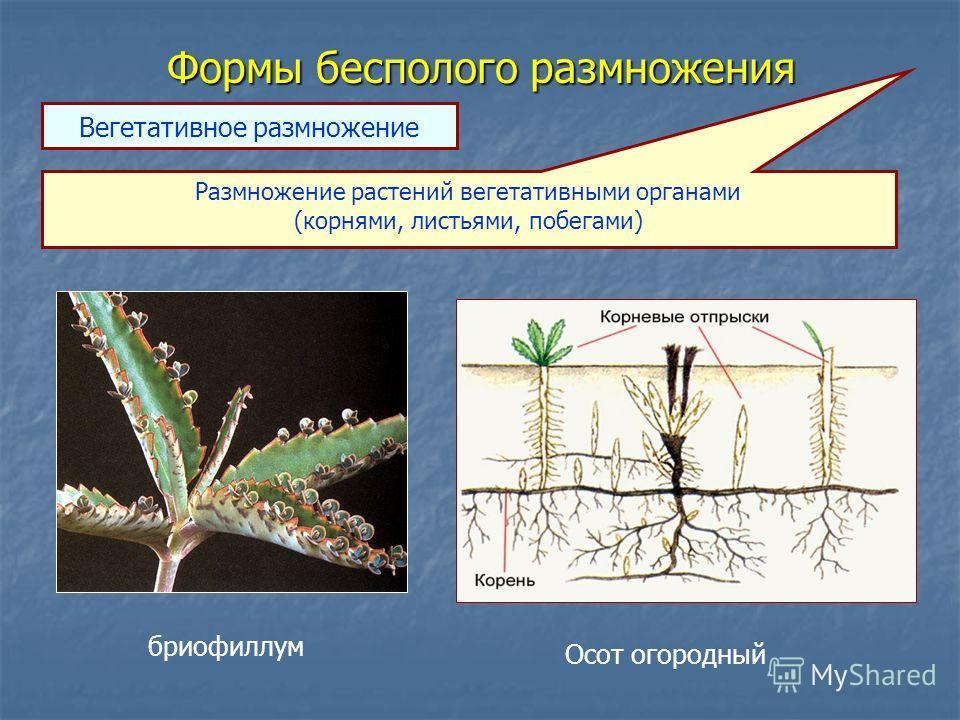 Формы бесполого размножения Размножение растений вегетативными органами (корнями, листьями, побегами) Вегетативное размножение бриофиллум Осот огородный