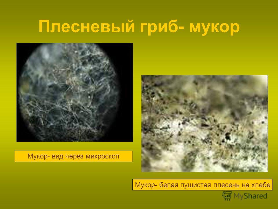 Плесневый гриб- мукор Мукор- вид через микроскоп Мукор- белая пушистая плесень на хлебе
