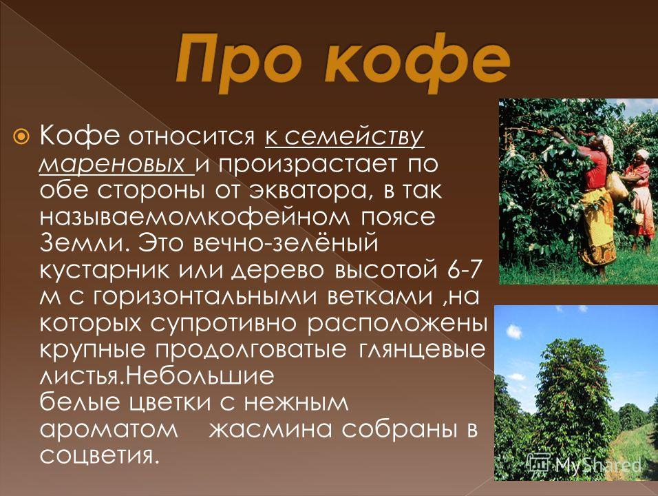 Кофе относится к семейству мареновых и произрастает по обе стороны от экватора, в так называемомкофейном поясе Земли. Это вечно-зелёный кустарник или дерево высотой 6-7 м с горизонтальными ветками,на которых супротивно расположены крупные продолговат