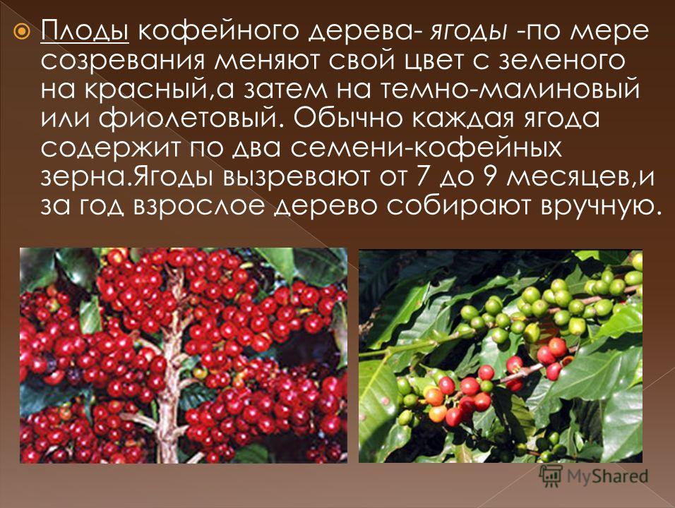 Плоды кофейного дерева- ягоды -по мере созревания меняют свой цвет с зеленого на красный,а затем на темно-малиновый или фиолетовый. Обычно каждая ягода содержит по два семени-кофейных зерна.Ягоды вызревают от 7 до 9 месяцев,и за год взрослое дерево с