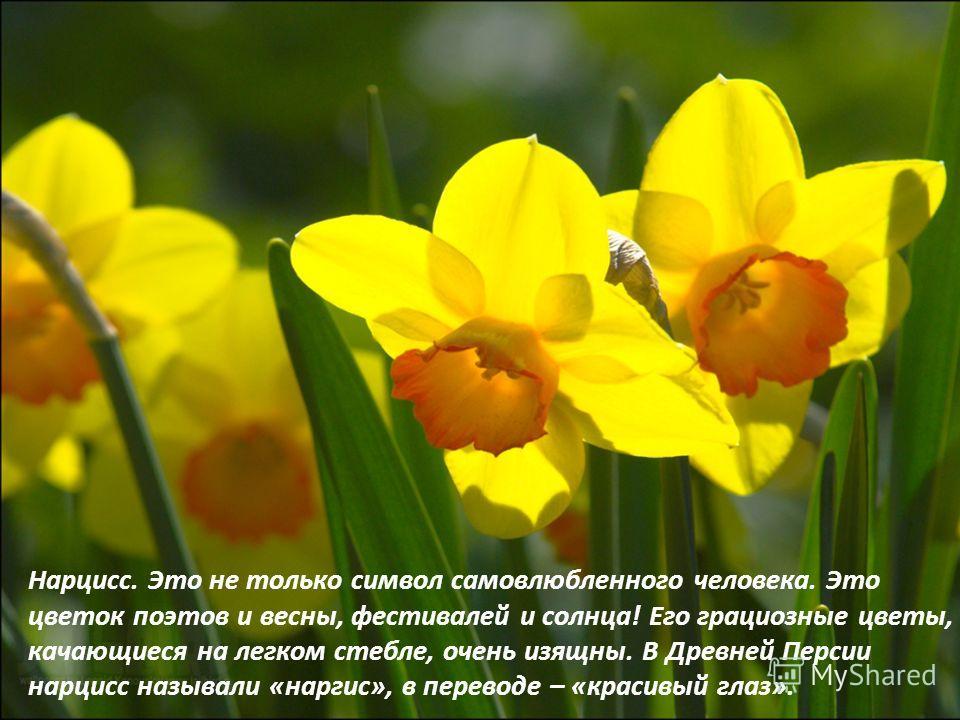 Нарцисс. Это не только символ самовлюбленного человека. Это цветок поэтов и весны, фестивалей и солнца! Его грациозные цветы, качающиеся на легком стебле, очень изящны. В Древней Персии нарцисс называли «наргис», в переводе – «красивый глаз».