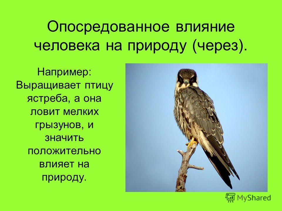 Опосредованное влияние человека на природу (через). Например: Выращивает птицу ястреба, а она ловит мелких грызунов, и значить положительно влияет на природу.