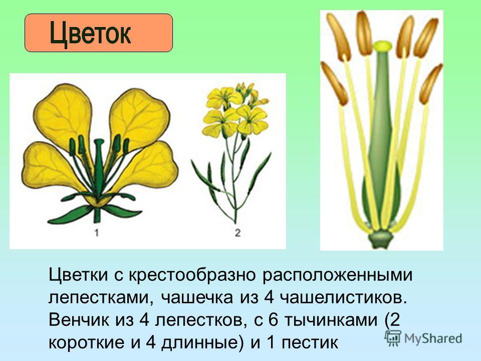 Цветки с крестообразно расположенными лепестками, чашечка из 4 чашелистиков. Венчик из 4 лепестков, с 6 тычинками (2 короткие и 4 длинные) и 1 пестик