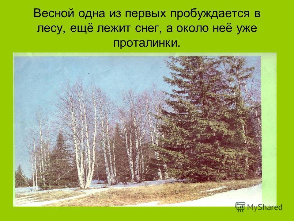 Весной одна из первых пробуждается в лесу, ещё лежит снег, а около неё уже проталинки.
