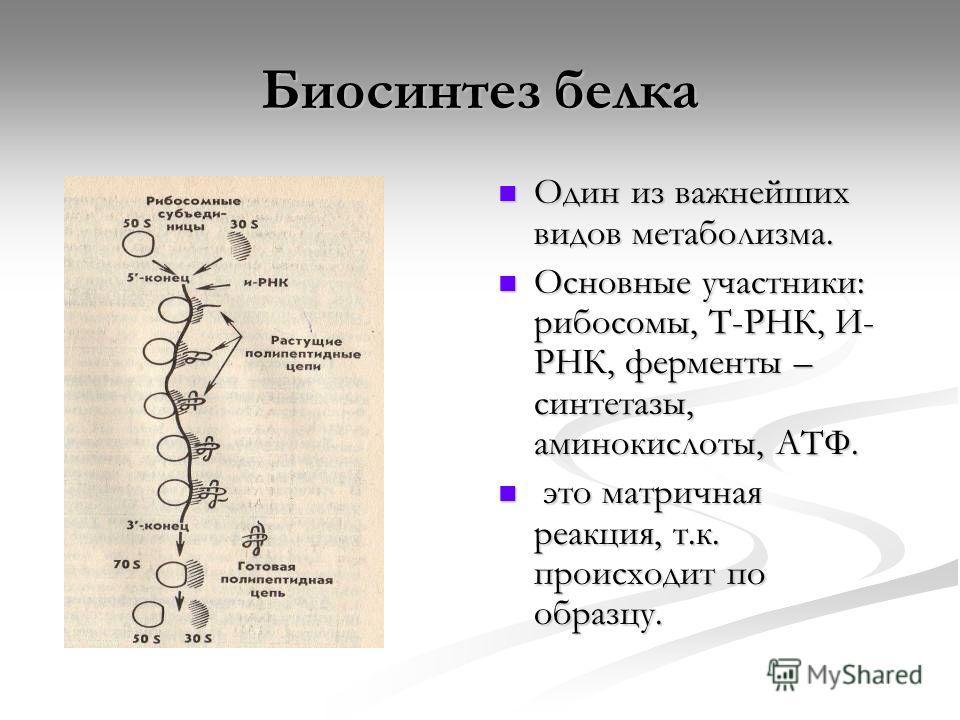 Биосинтез белка Один из важнейших видов метаболизма. Основные участники: рибосомы, Т-РНК, И- РНК, ферменты – синтетазы, аминокислоты, АТФ. это матричная реакция, т.к. происходит по образцу.