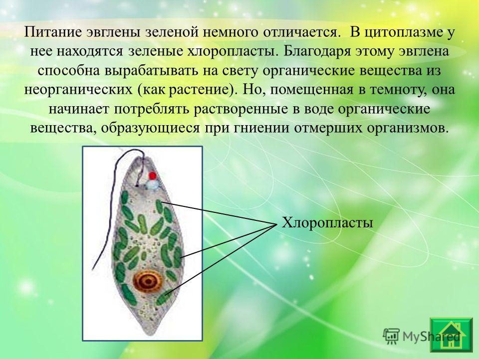 Питание эвглены зеленой немного отличается. В цитоплазме у нее находятся зеленые хлоропласты. Благодаря этому эвглена способна вырабатывать на свету органические вещества из неорганических (как растение). Но, помещенная в темноту, она начинает потреб