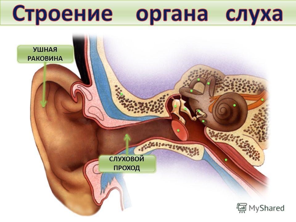 Тема. Строение и функции слухового анализатора. Гигиена слуха. УШНАЯ РАКОВИНА СЛУХОВОЙ ПРОХОД