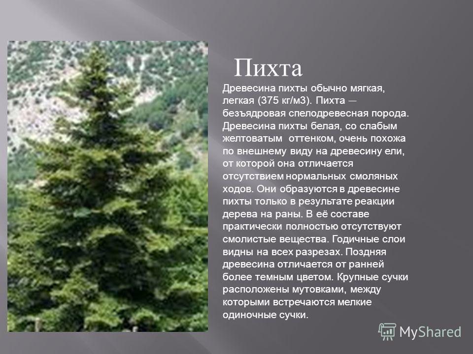 Древесина пихты обычно мягкая, легкая (375 кг/м3). Пихта безъядровая спелодревесная порода. Древесина пихты белая, со слабым желтоватым оттенком, очень похожа по внешнему виду на древесину ели, от которой она отличается отсутствием нормальных смоляны