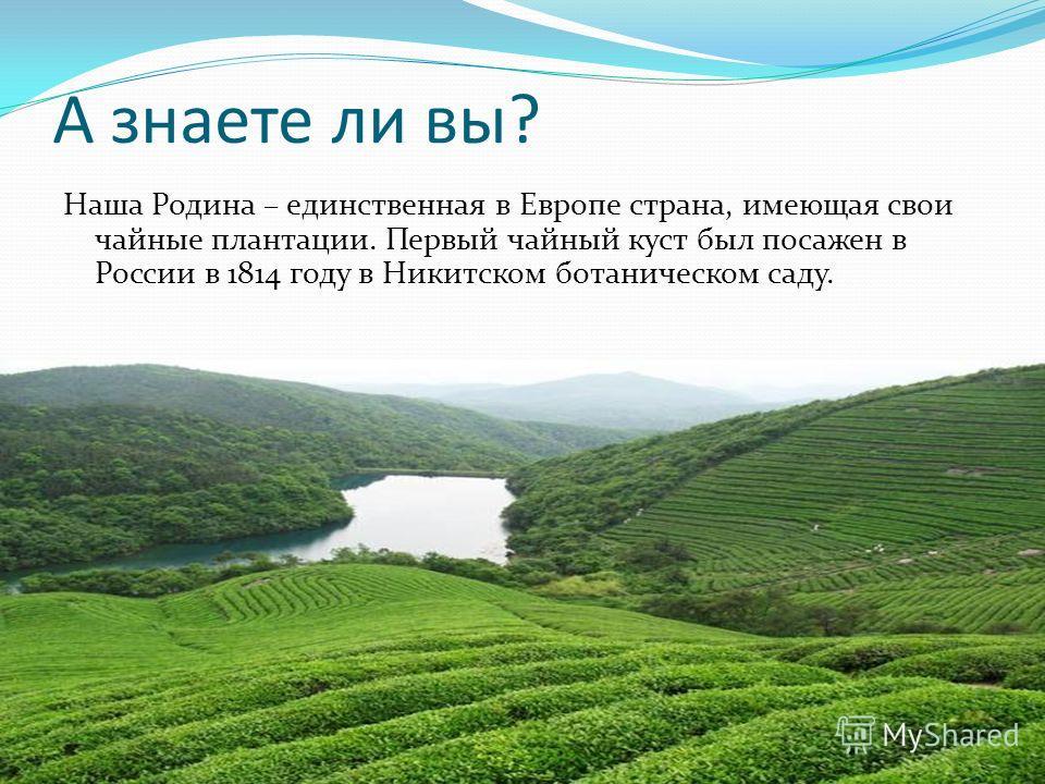 А знаете ли вы? Наша Родина – единственная в Европе страна, имеющая свои чайные плантации. Первый чайный куст был посажен в России в 1814 году в Никитском ботаническом саду.