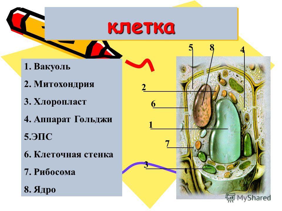 клеткаклетка 1 2 3 4 5 6 7 8 1. Вакуоль 2. Митохондрия 3. Хлоропласт 4. Аппарат Гольджи 5.ЭПС 6. Клеточная стенка 7. Рибосома 8. Ядро