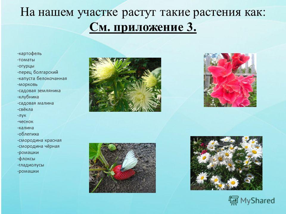 На нашем участке растут такие растения как: См. приложение 3. -картофель -томаты -огурцы -перец болгарский -капуста белокочанная -морковь -садовая земляника -клубника -садовая малина -свёкла -лук -чеснок -калина -облепиха -смородина красная -смородин