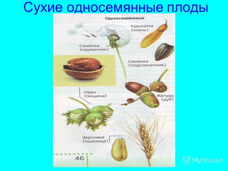 Сухие односемянные плоды