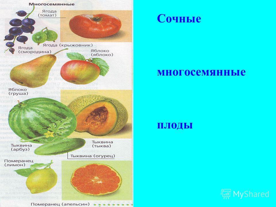 Сочные многосемянные плоды
