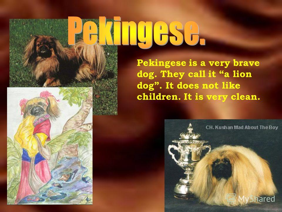 Pekingese is a very brave dog. They call it a lion dog. It does not like children. It is very clean.