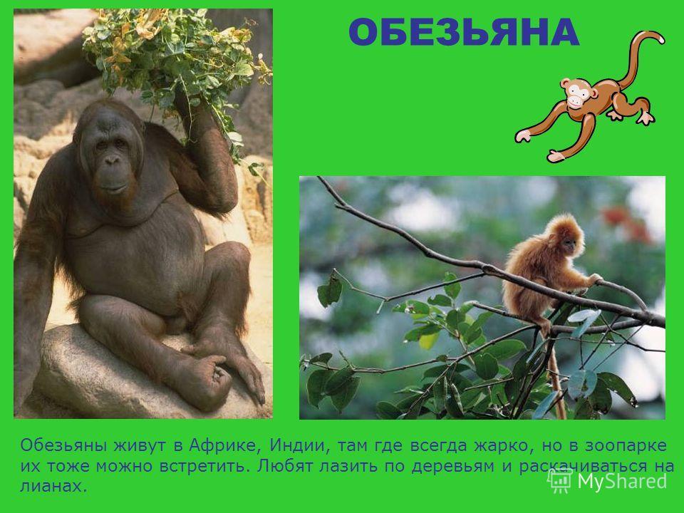 ОБЕЗЬЯНА А это обезьяна бабуин.