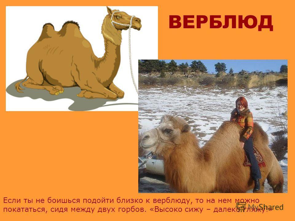 ВЕРБЛЮД Верблюда называют кораблем пустыни. Он хорошо переносит жару и его широкие двупалые ступни позволяют идти по сыпучим пескам, не проваливаясь вниз.