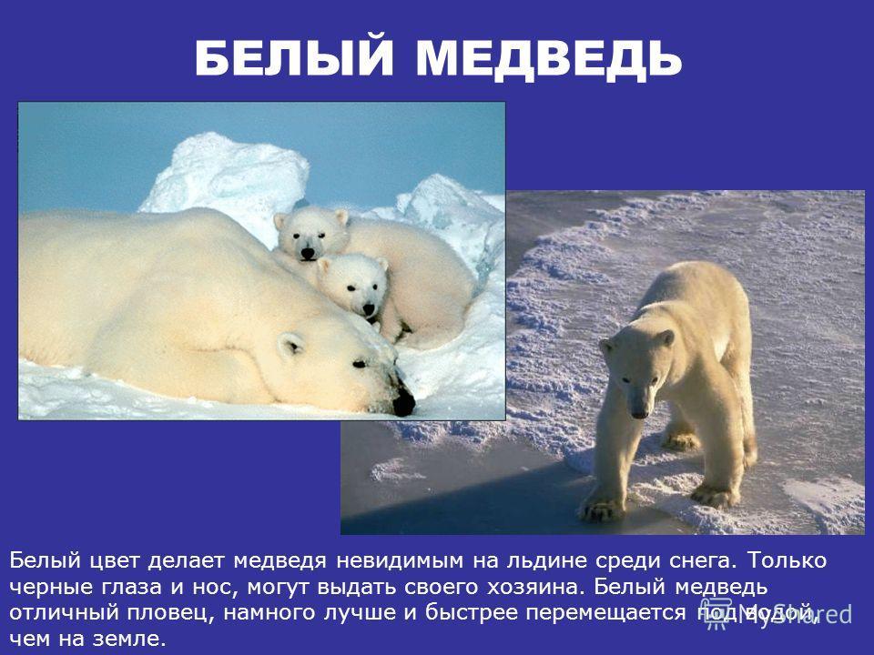 БЕЛЫЙ МЕДВЕДЬ Белый медведь живет на севере, где всегда очень холодно. У него густая и плотная шерсть, которая защищает тело медведя от холода и намокания в ледяной воде. Белый медведь считается полуводным животным.