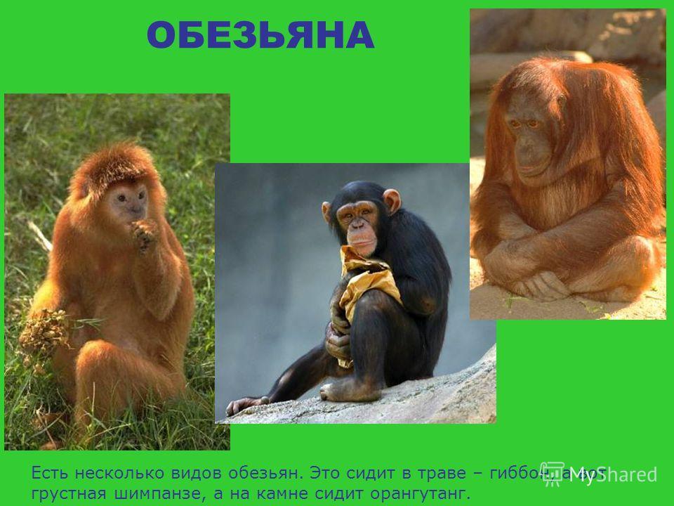 ОБЕЗЬЯНА Человеку нравится наблюдать за обезьяной. Считается, что обезьяны наши далекие предки, ведь человек похож на обезьяну строением, повадками, жестами, манерой поведения.
