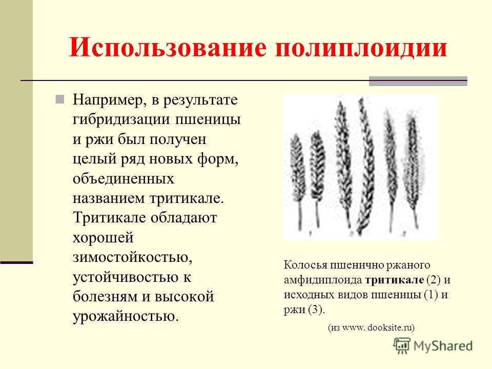 Использование полиплоидии Например, в результате гибридизации пшеницы и ржи был получен целый ряд новых форм, объединенных названием тритикале. Тритикале обладают хорошей зимостойкостью, устойчивостью к болезням и высокой урожайностью. Колосья пшенич