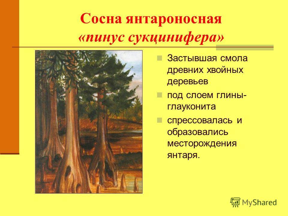 Сосна янтароносная «пинус сукцинифера» Застывшая смола древних хвойных деревьев под слоем глины- глауконита спрессовалась и образовались месторождения янтаря.