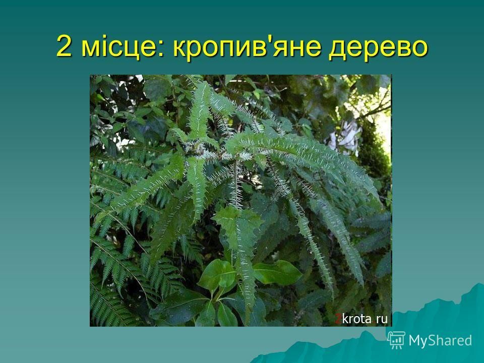 2 місце: кропив'яне дерево найнебезпечніша жаляча рослина - Новозеландське кропив'яне дерево. Воно може убити собаку і навіть коня, упорскуючи їм під шкуру суміш сильних отрут. Тонкі пекучі волоски на листі містять гістамін і мурашину кислоту.