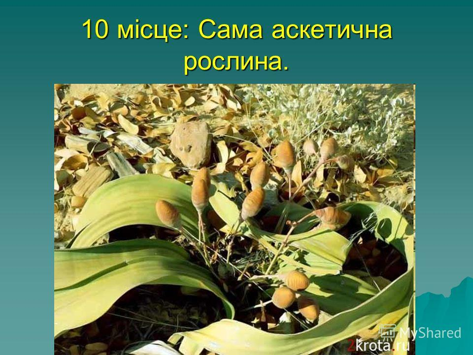 10 місце: Сама аскетична рослина. Вельвичия - росте на півдні Африки, в пустелі Намібії. Листя цієї рослини закручується тюрбаном навколо себе самих. Оскільки в Намібії майже ніколи не йдуть дощі, вельвичия використовує своє листя для поглинання воло