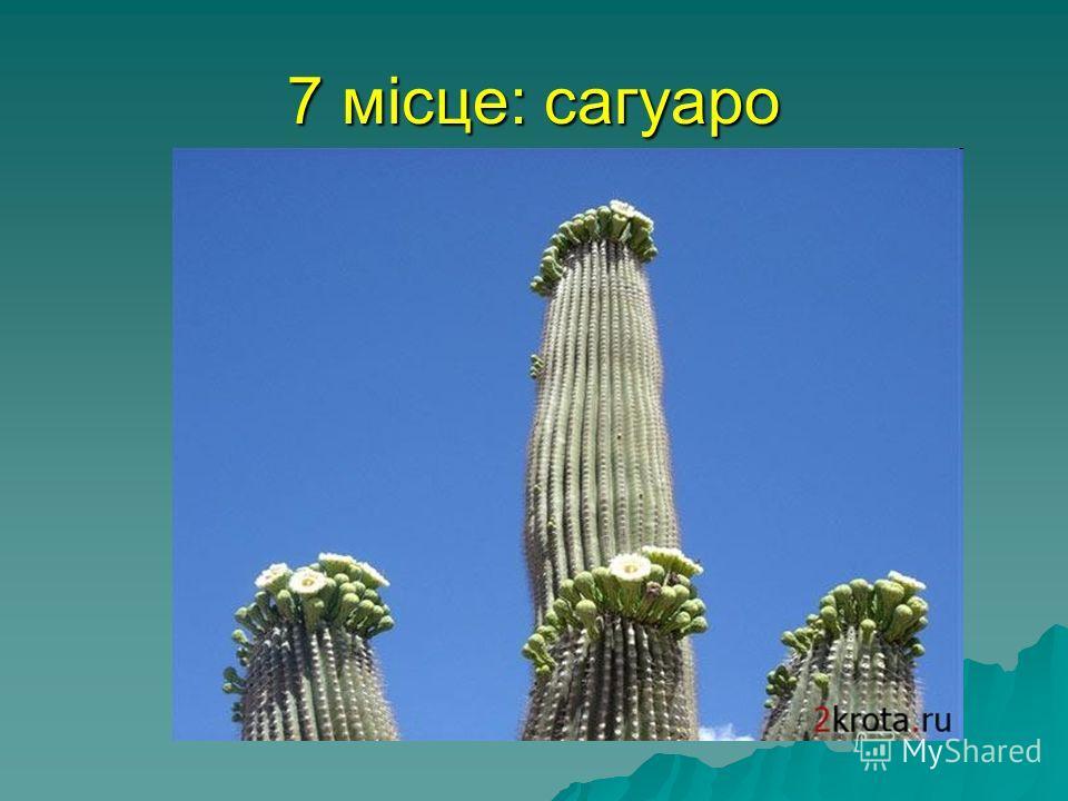 7 місце: сагуаро найбільший кактус у світі, сагуаро, росте в Мексиці і штаті Арізона. Він легко досягає висоти в 15 метрів, а важить від 6 до 10 тонн. У квітці сагуаро- 3500 тичинок, які настільки великі, що дрібні птах в'ють іноді там гнізда.