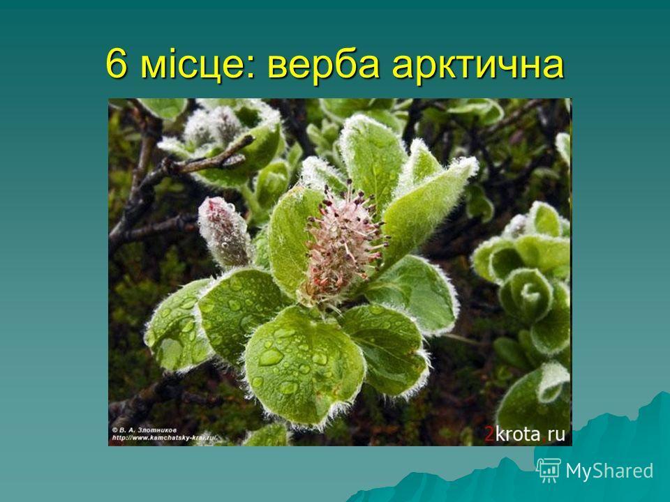 6 місце: верба арктична найпівнічніше дерево (кущі) у світі, його гілки можуть досягати 5 метрів в довжину, але вони ніколи не піднімаються вище, ніж на 10 см від землі. Таким чином верба захищається від крижаного вітру і росте під сніговим покривало