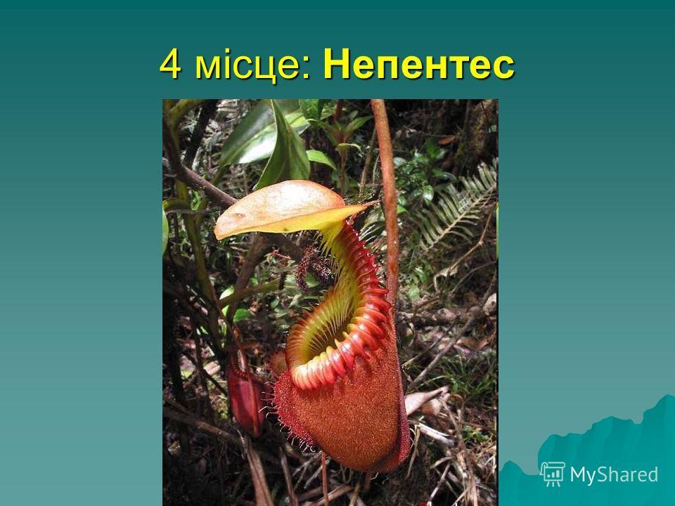4 місце: Непентес найбільша хижа рослина, здатна переварювати найбільшу здобич відноситься до сімейства непентових. Жаби, птахи і навіть щури попадаються в його пастки і перетравлюються за допомогою ферментів. Росте в тропічних лісах Азії, на о. Борн