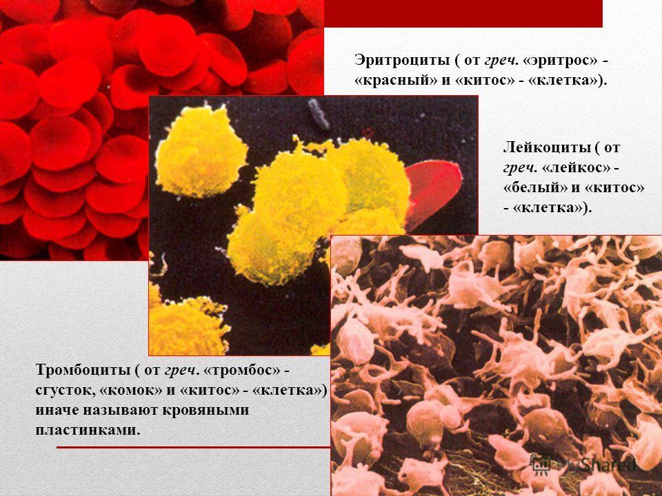 Эритроциты ( от греч. «эритрос» - «красный» и «китос» - «клетка»). Лейкоциты ( от греч. «лейкос» - «белый» и «китос» - «клетка»). Тромбоциты ( от греч. «тромбос» - сгусток, «комок» и «китос» - «клетка») иначе называют кровяными пластинками.