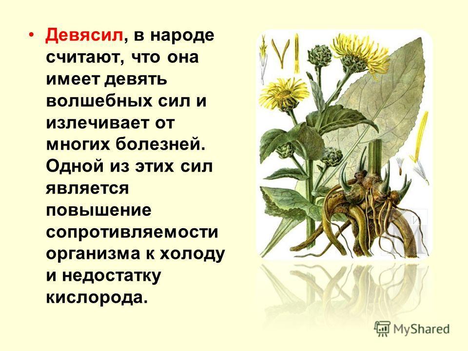 Девясил, в народе считают, что она имеет девять волшебных сил и излечивает от многих болезней. Одной из этих сил является повышение сопротивляемости организма к холоду и недостатку кислорода.
