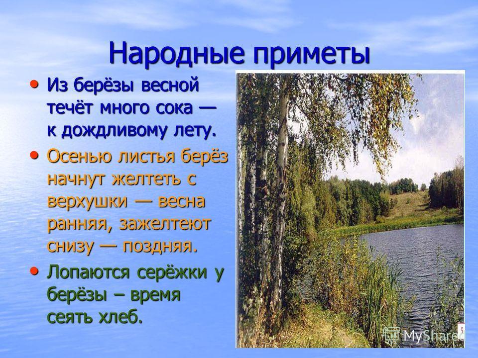 Народные приметы Из берёзы весной течёт много сока к дождливому лету. Из берёзы весной течёт много сока к дождливому лету. Осенью листья берёз начнут желтеть с верхушки весна ранняя, зажелтеют снизу поздняя. Осенью листья берёз начнут желтеть с верху