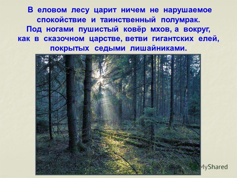 В еловом лесу царит ничем не нарушаемое спокойствие и таинственный полумрак. Под ногами пушистый ковёр мхов, а вокруг, как в сказочном царстве, ветви гигантских елей, покрытых седыми лишайниками.