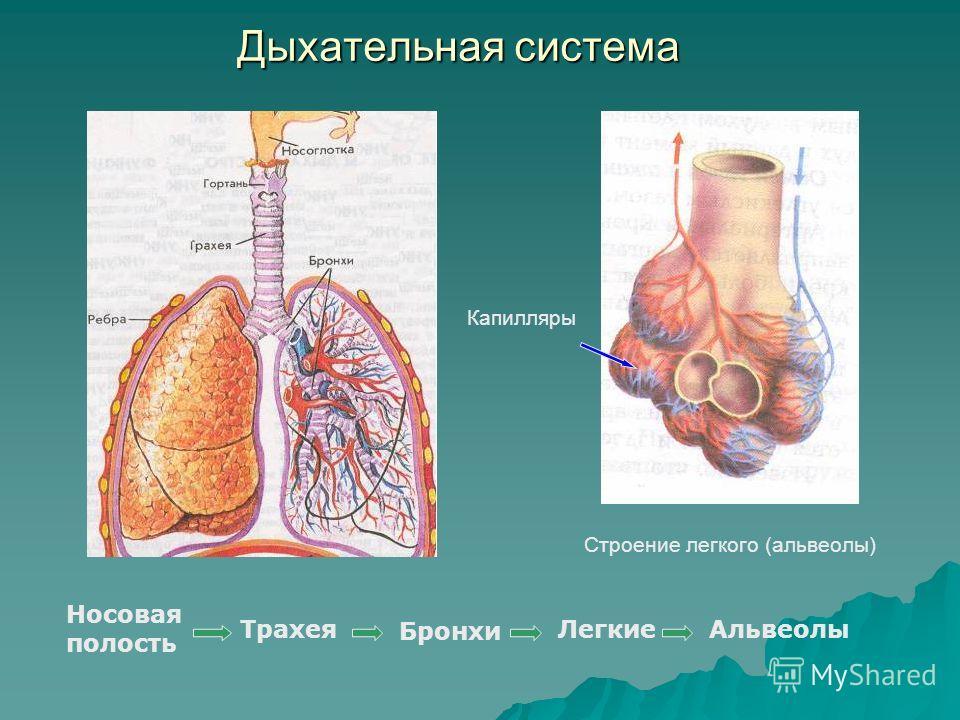 Дыхательная система Бронхи Строение легкого (альвеолы) Капилляры Носовая полость ТрахеяЛегкиеАльвеолы