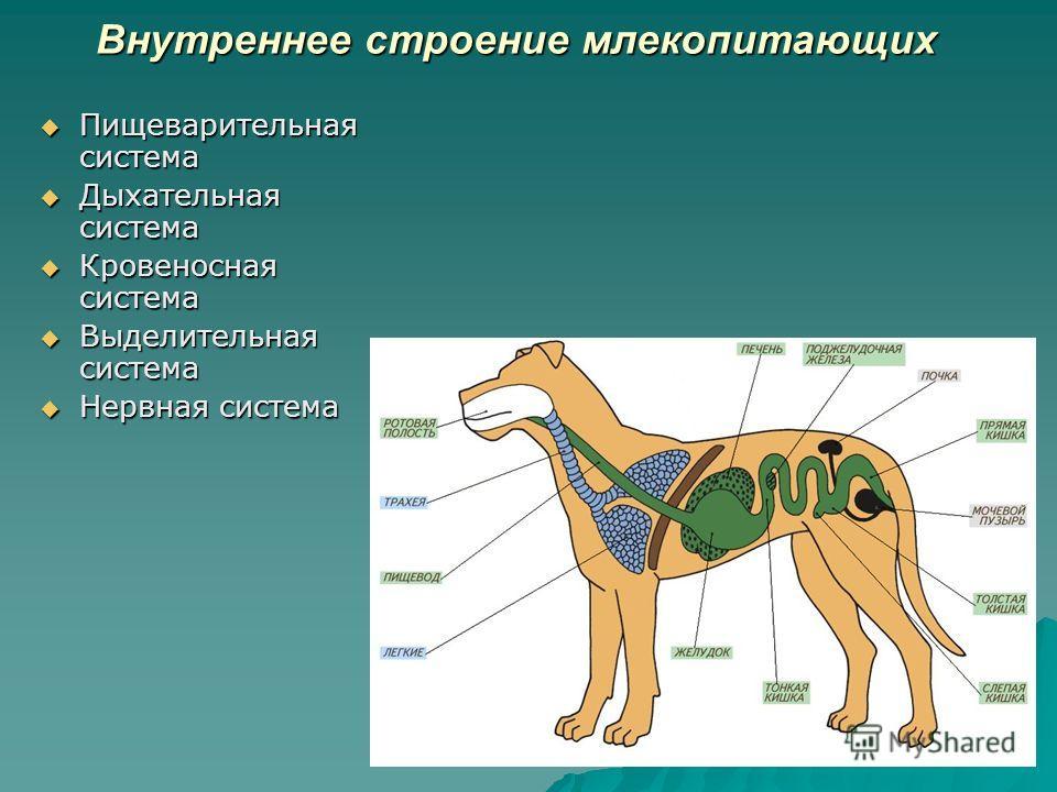 Внутреннее строение млекопитающих Пищеварительная система Пищеварительная система Дыхательная система Дыхательная система Кровеносная система Кровеносная система Выделительная система Выделительная система Нервная система Нервная система