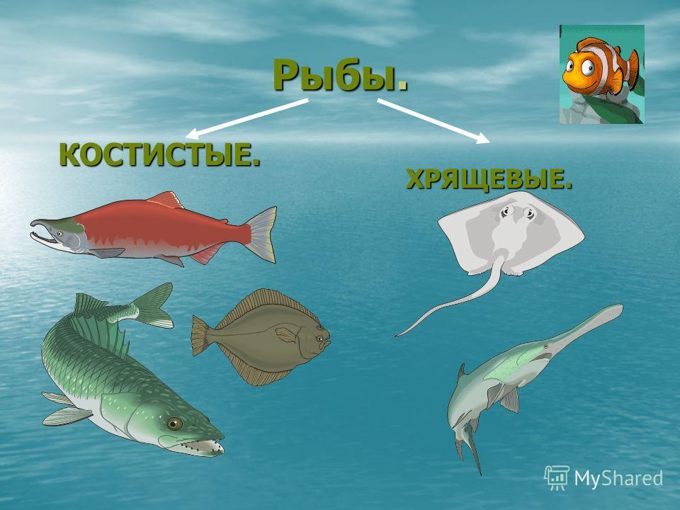 Рыбы. ХРЯЩЕВЫЕ. КОСТИСТЫЕ.