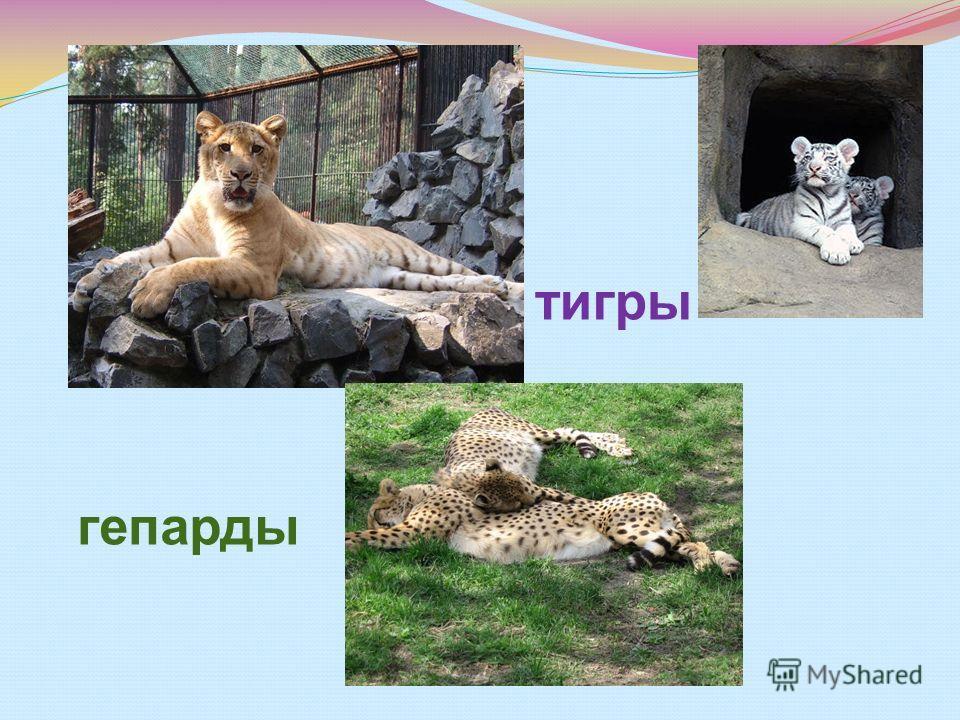 тигры гепарды
