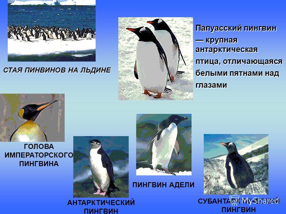 СТАЯ ПИНВИНОВ НА ЛЬДИНЕ Папуасский пингвин крупная антарктическая крупная антарктическая птица, отличающаяся белыми пятнами над глазами СУБАНТАРКТИЧЕСКИЙ ПИНГВИН ПИНГВИН АДЕЛИ АНТАРКТИЧЕСКИЙ ПИНГВИН ГОЛОВА ИМПЕРАТОРСКОГО ПИНГВИНА