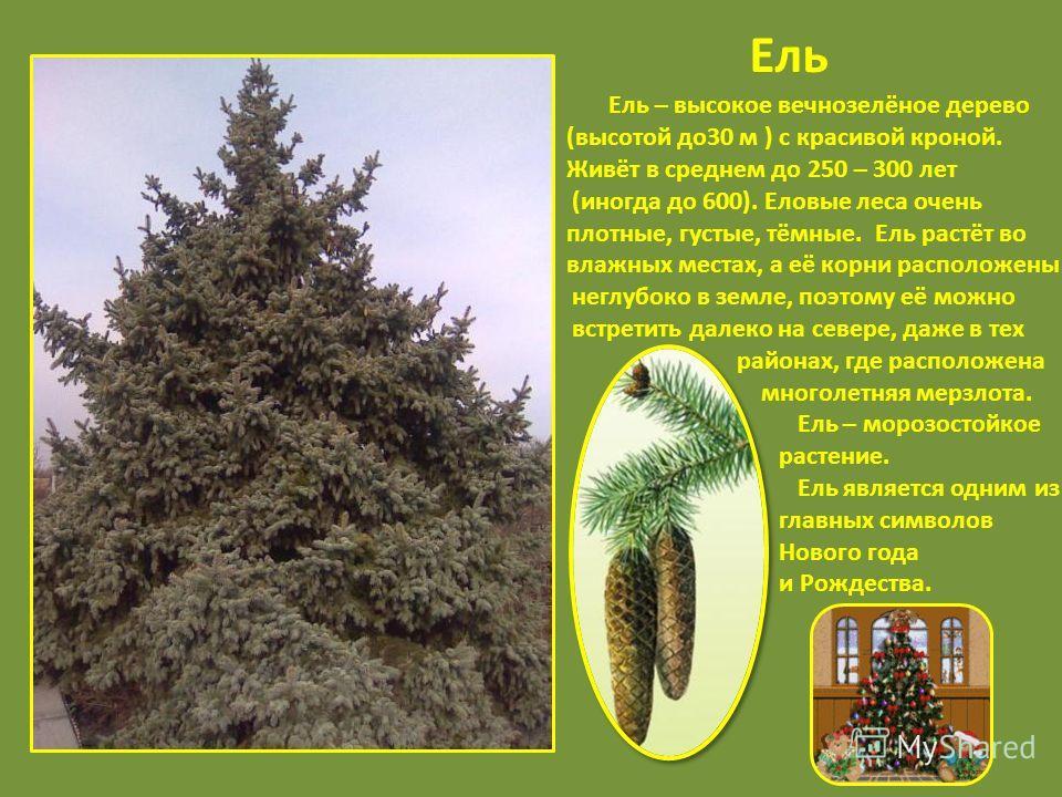 Ель Ель – высокое вечнозелёное дерево (высотой до30 м ) с красивой кроной. Живёт в среднем до 250 – 300 лет (иногда до 600). Еловые леса очень плотные, густые, тёмные. Ель растёт во влажных местах, а её корни расположены неглубоко в земле, поэтому её