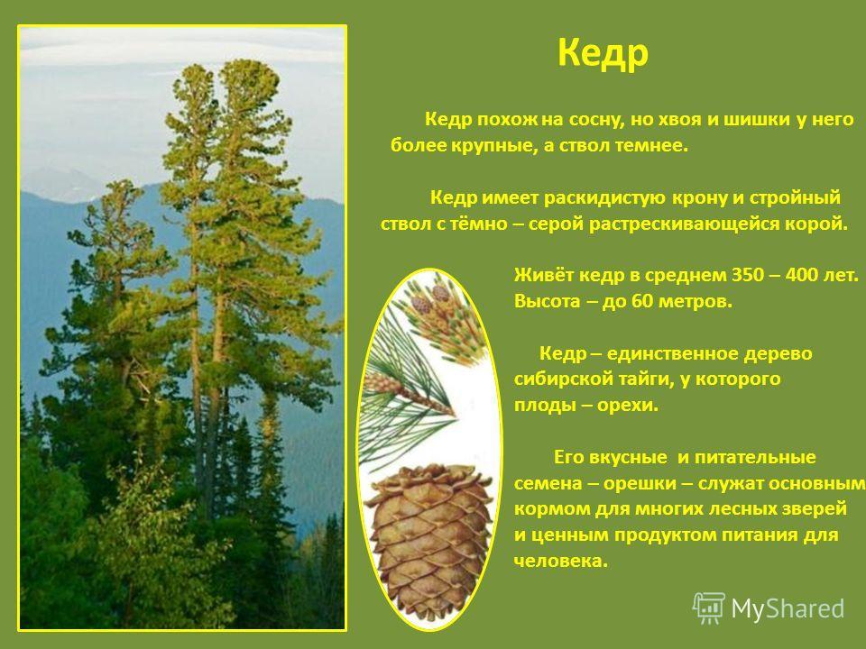 Кедр Кедр похож на сосну, но хвоя и шишки у него более крупные, а ствол темнее. Кедр имеет раскидистую крону и стройный ствол с тёмно – серой растрескивающейся корой. Живёт кедр в среднем 350 – 400 лет. Высота – до 60 метров. Кедр – единственное дере