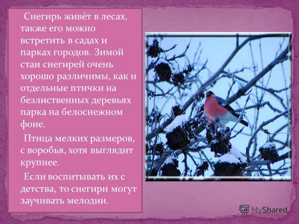 Снегирь живёт в лесах, также его можно встретить в садах и парках городов. Зимой стаи снегирей очень хорошо различимы, как и отдельные птички на безлиственных деревьях парка на белоснежном фоне. Птица мелких размеров, с воробья, хотя выглядит крупнее