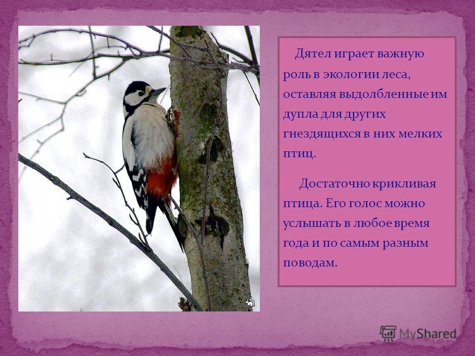 Дятел играет важную роль в экологии леса, оставляя выдолбленные им дупла для других гнездящихся в них мелких птиц. Достаточно крикливая птица. Его голос можно услышать в любое время года и по самым разным поводам.