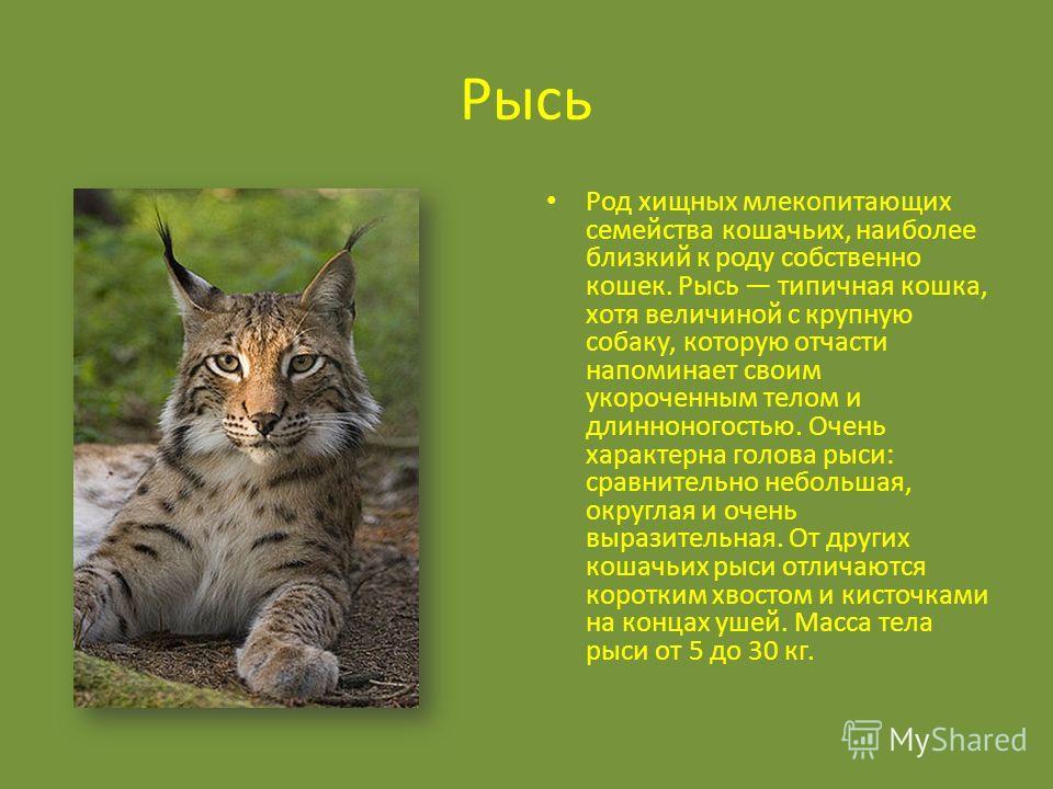 Рысь Род хищных млекопитающих семейства кошачьих, наиболее близкий к роду собственно кошек. Рысь типичная кошка, хотя величиной с крупную собаку, которую отчасти напоминает своим укороченным телом и длинноногостью. Очень характерна голова рыси: сравн