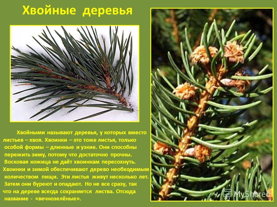 Хвойные деревья Хвойными называют деревья, у которых вместо листьев – хвоя. Хвоинки – это тоже листья, только особой формы – длинные и узкие. Они способны пережить зиму, потому что достаточно прочны. Восковая кожица не даёт хвоинкам пересохнуть. Хвои