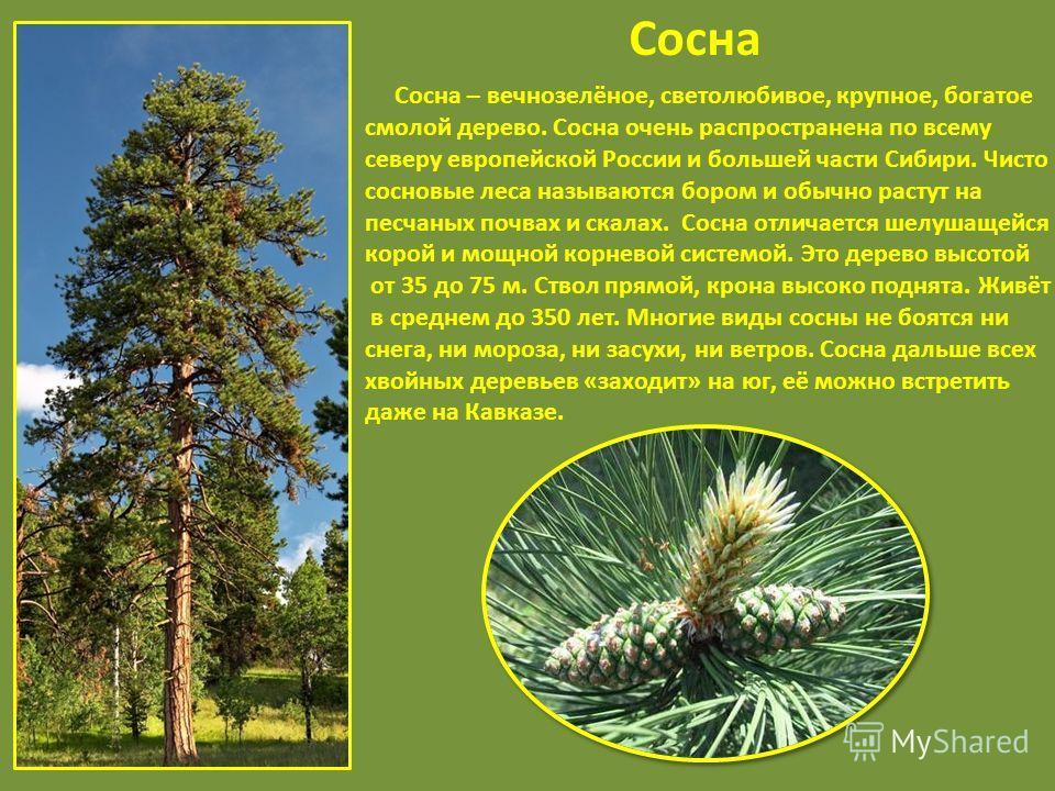 Сосна Сосна – вечнозелёное, светолюбивое, крупное, богатое смолой дерево. Сосна очень распространена по всему северу европейской России и большей части Сибири. Чисто сосновые леса называются бором и обычно растут на песчаных почвах и скалах. Сосна от