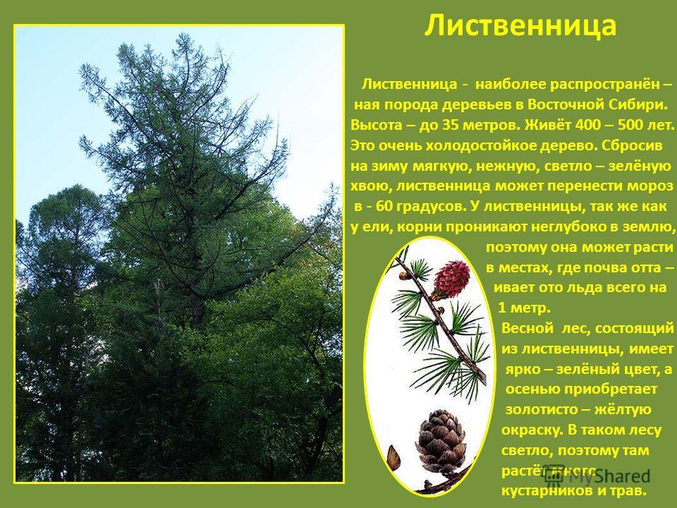 Лиственница - наиболее распространён – ная порода деревьев в Восточной Сибири. Высота – до 35 метров. Живёт 400 – 500 лет. Это очень холодостойкое дерево. Сбросив на зиму мягкую, нежную, светло – зелёную хвою, лиственница может перенести мороз в - 60