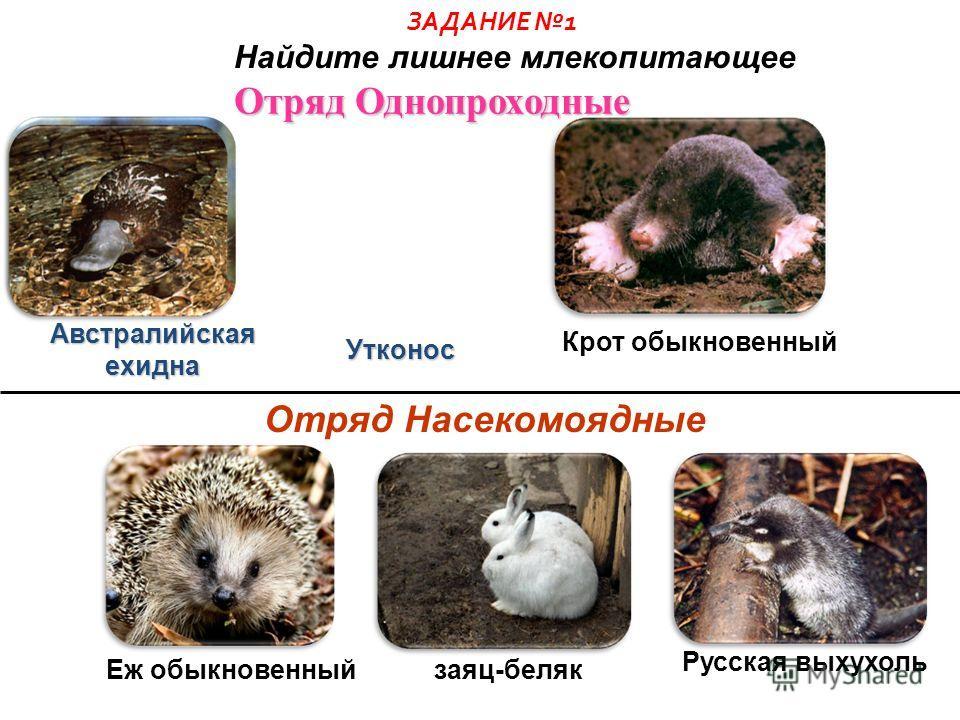 Подкласс Яйцекладущие Подкласс Плацентарные Подкласс Сумчатые утконос обыкновенный белый медведь большой серый кенгуру